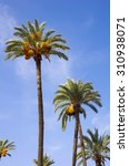 Date Palms Against Blue Sky