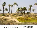 Grove Of Date Palms On The...