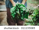 organic vegetables. mangold in... | Shutterstock . vector #311155085