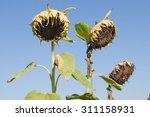 Mature Sunflower  Helianthus...