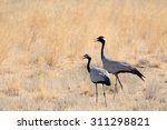 Demoiselle cranes (Anthropoides virgo, adult and young) in hot steppe of Kalmykia, Russia