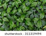 leaves of arabica coffee tree... | Shutterstock . vector #311319494