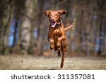 Stock photo a purebred kooikerhondje dog without leash outdoors in the nature on a sunny day 311357081
