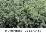 Evergreen Juniper Background....