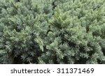 Evergreen Juniper Background....