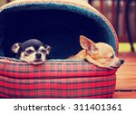 two chihuahuas in a pet bed... | Shutterstock . vector #311401361