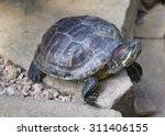 red eared slider turtle ...   Shutterstock . vector #311406155