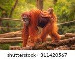 Young Orangutan Is Sleeping On...