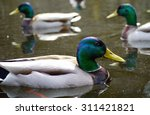 Male Mallard Duck Viewed...