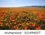 wild orange california poppy... | Shutterstock . vector #311494037