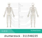 the human skeletal system ...
