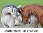 Stock photo portrait of two nice arabian horses 311761901