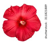 Red Hibiscus Flower  Isolated...