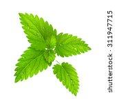 vector illustration. fresh mint ... | Shutterstock .eps vector #311947715
