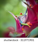 red eyed tree frog from the... | Shutterstock . vector #311971901