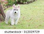 siberian husky puppy running in ... | Shutterstock . vector #312029729