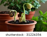 Clay starter pots with lima bean seedlings emerging.   Macro image with soft side lighting and shallow dof. - stock photo