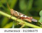 grasshopper on a green leaf | Shutterstock . vector #312386375