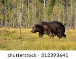 Brown Bear Walking In The Bog...