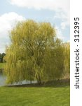 A Beautiful Weeping Willow Tre...