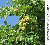 Small photo of Boskoop, an old variety of apple, storable with sour taste and very long