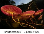 Colorful Lily Pads Grow In The...