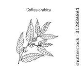 hand drawn coffee tree branch. ... | Shutterstock .eps vector #312836861