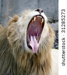 white male lion with mouth wide open - stock photo