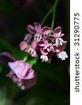 Small photo of five-leafed, fragrant akebia quinata