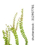 Small Creeper Plant Isolated O...