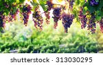 Viticulture  The Sun That...