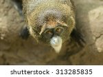 De Brazza's Monkey At Bimingha...