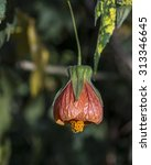 Small photo of Abutilon flower hanging isolated on a dark green background