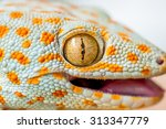 Close Up Gecko Of Northern...