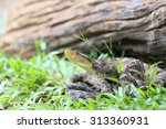 Stock photo bothrops asper is a venomous pit viper species ranging from southern mexico to northern south 313360931