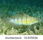Small photo of Tailspot Goby (Amblygobius albimaculatus)