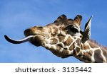 Funny Giraffe With Tongue Out