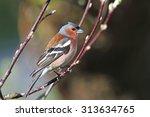 chaffinch | Shutterstock . vector #313634765