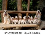 Stock photo family of english cocker spaniel with small puppy outdoor in sunny day 313643381