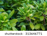 close up view of green blooming ... | Shutterstock . vector #313646771
