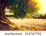 olive trees. plantation of... | Shutterstock . vector #313767701