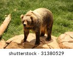 Small photo of Kodiak Bear (Ursus arctos middendorffi)