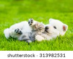 Stock photo white swiss shepherd s puppy playing with tiny kitten on green grass 313982531