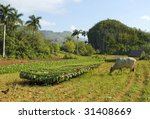 Tobacco plantation in Cuba  with drying harvest and grazing bull - stock photo