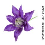 Clematis On White