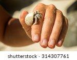 Diogenes Crab  Hermit Crab ...