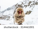 Japnanese Snow Monkey Shooting...