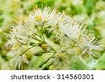 Linden Flowers Background. Soft ...