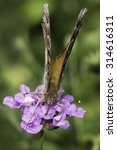 Small photo of American Lady Butterfly collecting nectar from a purple flower.