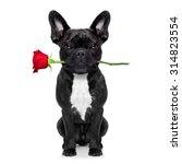 Valentines Dog Holding A Rose - Fine Art prints